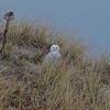 Snowy Owl (Nyctea scandiaca)… December 2, 2013.