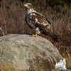 Bald Eagle (Haliaetus leucocephalus)... April 14, 2013.