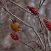 American Robin (Turdus migratorius)... January 13, 2013.