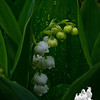 Lily of the Valley (Convallaria majalis)... May 11, 2013.