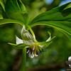 Nodding Trillium (Trillium cernuum)... May 16, 2013.