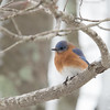 One of my little buddies was still around today- Eastern Bluebird (Sialia sialis)… December 13, 2014.