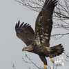 Bald Eagle (Haliaetus leucocephalus)… January 13, 2014.