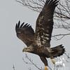 Bald Eagle (Haliaetus leucocephalus)… January 13, 2014.