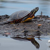Today on the Powow-Painted Turtle (Chrysemys picta)… May 24, 2014.