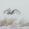 Dune Skimmer- Snowy Owl (Nyctea scandiaca)… February 6, 2014.