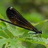 Ebony Jewel-wing (Calopteryx maculata)… July 31, 2014.