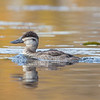 On the Powow today-Juvenile Ruddy Duck (Oxyura jamaicensis)… October 30, 2014.