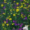 Birdsfoot Trefoil (Lotus corniculatus) &  Maiden Pink (Dianthus deltoides)… June 20, 2014.