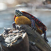 Painted Turtle (Chrysemys picta)… April 14, 2014.