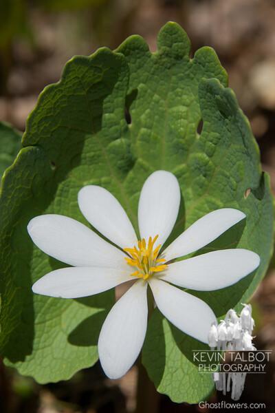Bloodroot (Sanguanaria canadensis)… May 7, 2014.