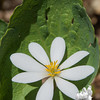Bloodroot (Sanguanaria canadensis)… May 7, 2014.