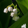 Lily of the Valley (Convallaria majalis)… May 17, 2014.