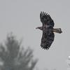 Today in the snow- Bald Eagle (Haliaetus leucocephalus)… December 11, 2014.
