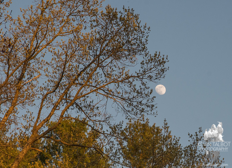 Oaks are leafing out and the Flower Moon is on the rise… May 11, 2014.