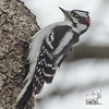 Downy Woodpecker (Picoides pubescens)… April 13, 2014.