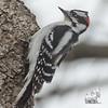 Downy Woodpecker (Picoides pubescens)… April 13, 2014.