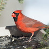 Mr. Handsome-Cardinal (Cardinalis cardinalis)… March 9, 2014.
