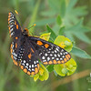 Baltimore Checkerspot (Euphydryas phaeton) on Cypress Spurge (Euphorbia cyparissias)… July 3, 2014.