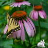 Eastern Tiger Swallowtail (Papilio glaucus) on Purple Cone Flower (Echinacea purpurea Asteraceae)… July 20, 2014.