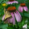 Eastern Tiger Swallowtail (Papilio glaucus) on Purple Cone Flower (Echinacea purpurea Asteraceae)… July 20, 2014.