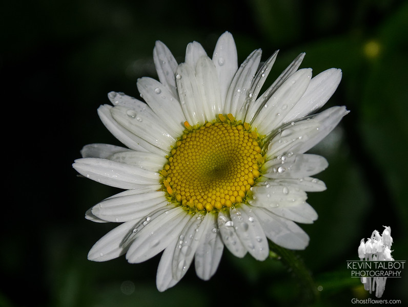 In our garden after the rain-Oxeye Daisy (Chrysanthemum leucanthamum)… July 7, 2014.