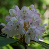 Rhododendron Maximum at  Rhododendron State Park, Fitzwilliams, NH… July 21, 2014.