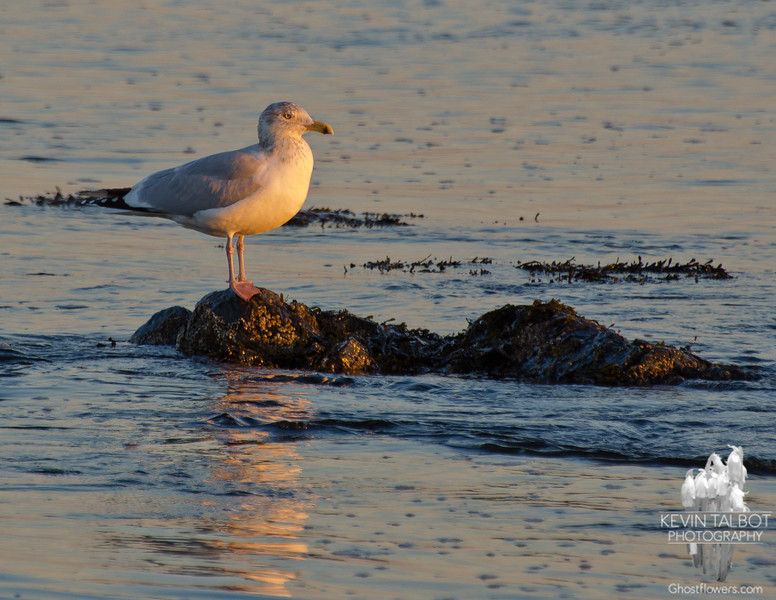 Herring Gull (Larus argentatus) on the Merrimack River, Salisbury… January 17, 2014.