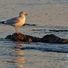 Herring Gull (Larus argentatus) on the Merrimack River, Salisbury… January 17, 2014.