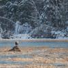 Daybreak on the Powow-Bald Eagle (Haliaetus leucocephalus)… November 29, 2014.