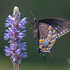 Black Swallowtail (Papilio polyxenes) on Pickerel Weed (Pontederia cordite) at Dubes Pond, Hooksett, NH… July 6, 2014.
