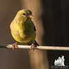 Mrs. American Goldfinch (Carduelis tristis) May 5, 2014.