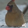 Cardinal (Cardinalis cardinalis)… January 3, 2014.