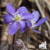 Round-lobed Hepatica (Anemone americana) at Pawtuckaway State Park… April 7, 2014.