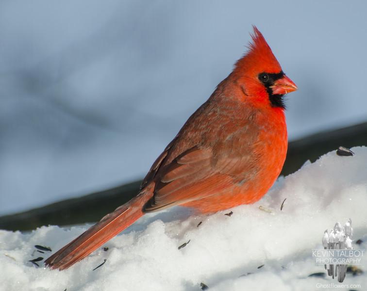Cardinal (Cardinalis cardinalis)… January 23, 2014.