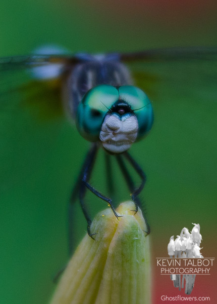 Today, in the garden-Blue Dasher (Pachydiplax longipennis)… July 14, 2014.