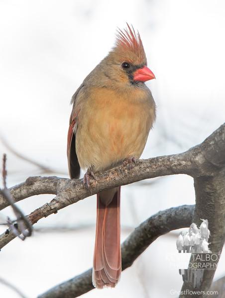 Cardinal (Cardinalis cardinalis)… December 20, 2014.