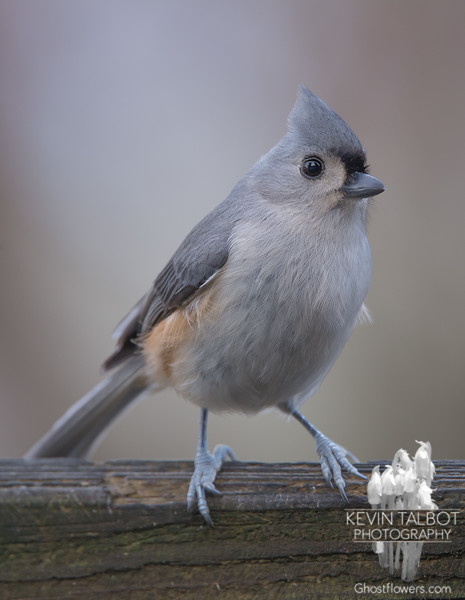 Tufted Titmouse (Parus bicolor)… December 17, 2014.