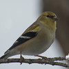 American Goldfinch (Carduelis tristis)… January 25, 2014.