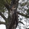 Bald Eagle (Haliaetus leucocephalus)… March 25, 2014.