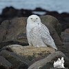 Today along the coast - Snowy Owl (Nyctea scandiaca)… January 28, 2014.