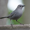 Gray Catbird (Dumatella carolinensis)… May 26, 2014.