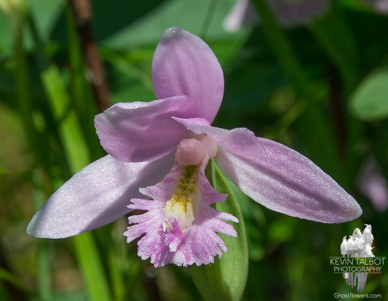 Rose Pogonia (Pogonia ophioglossoides)… June 27, 2014.