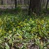 Trout Lily (Erythronium americanum) along the Lamprey River… May 8, 2014.
