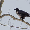Bitter cold day for Brer Crow today, American Crow (Corvus brachyrhynchos)… January 22, 2014.