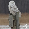 Snowy Owl (Nyctea scandiaca)… January 27, 2014.