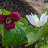 In the woods today- Wake Robin (Trillium erectum) and Bloodroot (Sanguanaria canadensis)… May 2, 2014.