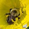 American Bumblebee (Bombus pennsylvanicus) & Evening Primrose (Oenothera macrocarpa)… June 21, 2014.