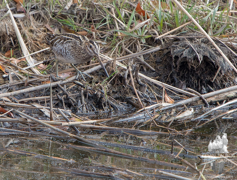Can you se me? Common Snipe (Gallinago gallinago)… November 16, 2014.