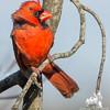Holding on in the wind-Cardinal (Cardinalis cardinals)… November 18, 2014.
